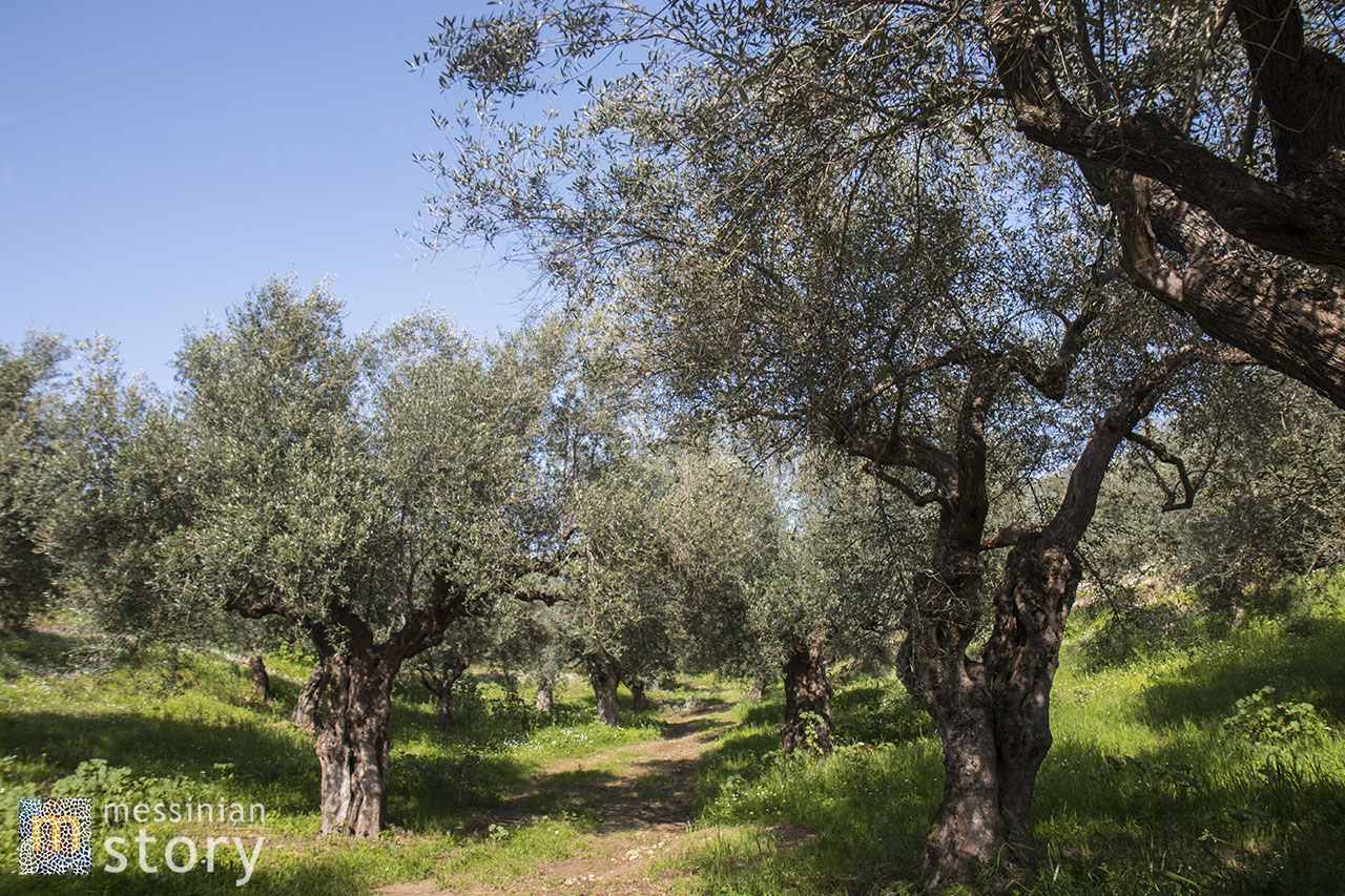 messinian story olive oil photo 11