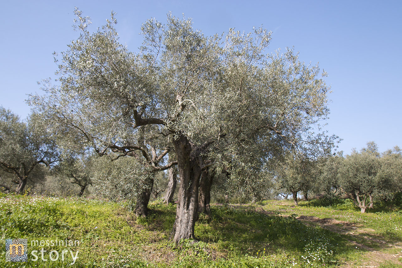 messinian story olive oil photo 12