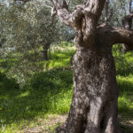messinian story olive oil