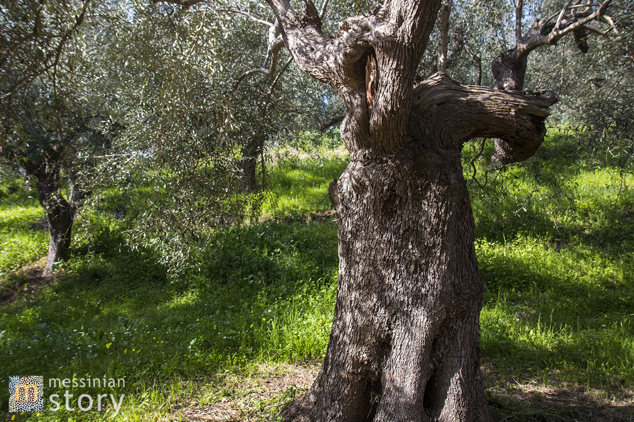 messinian story olive oil photo 14